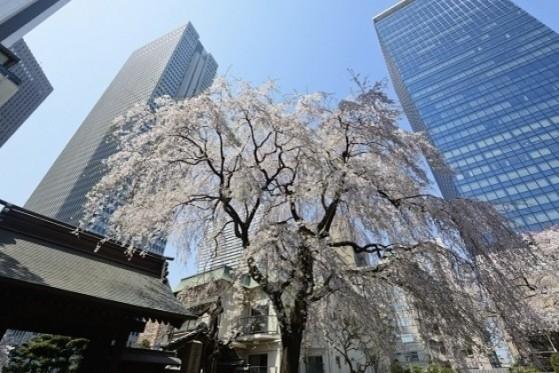 新宿 常圓寺|【桜の名所】春には江戸三木の一つといわれた大枝垂桜が見頃に