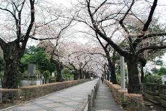 見事な桜の木が並んでいる