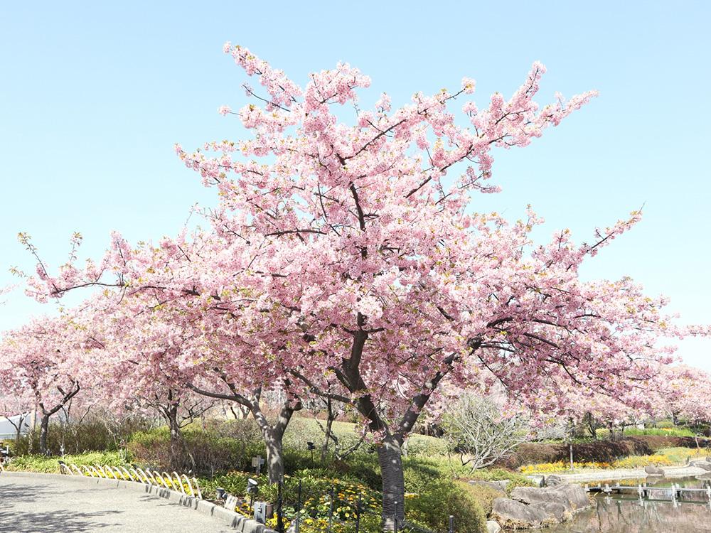 桜をシンボルツリーとした樹木葬の写真