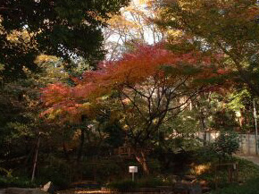 薬王院に隣接している下落合野鳥の森公園にはケヤキやコナラなどの紅葉が美しい木が植樹されている